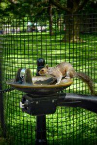 squirrel drinking water in New York
