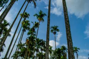 Farm trees in Kudajadri Drizzle